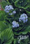 MYOSOTIDIUM hortensia   Portion(en)