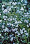MYOSOTIS palustris   Portion(en)
