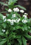 MYOSOTIS palustris  'Alba' Portion(s)