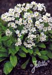 MYOSOTIS sylvatica compacta Victoria-Series 'Victoria White' Portion(s)