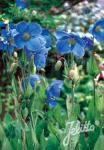 MECONOPSIS x sheldonii  'Lingholm' (Fertile Blue Group)