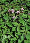MENTHA aquatica   Portion(en)