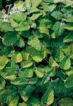 MELISSA officinalis ssp. altissima   Portion(en)