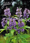 NEPETA subsessilis  'Blue Dreams' Portion(en)