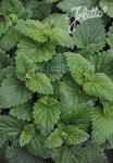 NEPETA cataria   Portion(en)