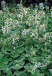 NEPETA racemosa  'Alba' Portion(s)