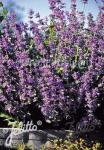 NEPETA racemosa  'Select' Portion(s)