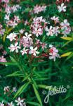 NERIUM oleander   Portion(s)