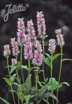 NEPETA nervosa  'Pink Cat' Portion(en)