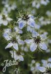 NIGELLA sativa   Portion(en)