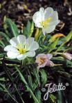 OENOTHERA caespitosa ssp. eximia   Portion(en)