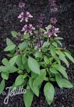 OCIMUM basilicum var. thyrsiflorum  'Thai' Portion(en)