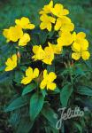 OENOTHERA pilosella  'Yella Fella' Portion(s)