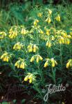 ONOSMA echioides   Portion(en)