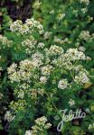ORIGANUM vulgare  'Album' Portion(en)
