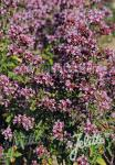 ORIGANUM vulgare  Wildform Portion(en)
