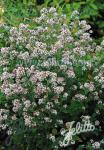 ORIGANUM vulgare ssp. hirtum   Portion(en)