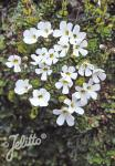 OURISIA glandulosa   Portion(en)