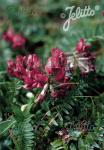 OXYTROPIS purpurea   Portion(en)