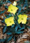 OENOTHERA macrocarpa ssp. incana  Silver Blade® Seeds
