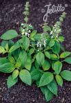 OCIMUM americanum  'Limon' Portion(en)