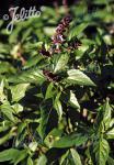 OCIMUM basilicum  'Cinnamon' Portion(en)