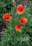 PAPAVER dubium   Portion(en)