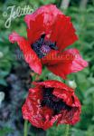 PAPAVER Orientale-Hybr.  'Beauty of Livermere' Portion(en)