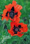 PAPAVER Orientale-Hybr.  'Brilliant' Portion(s)