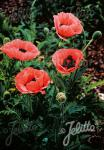 PAPAVER Orientale-Hybr.  'Prinzessin Victoria Louise' Portion(s)