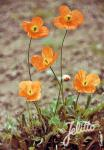 PAPAVER rupifragum   Portion(en)