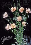 PAPAVER triniifolium