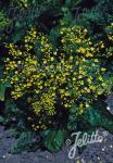 PATRINIA gibbosa   Portion(s)