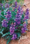 PENSTEMON alpinus   Portion(s)