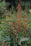PENSTEMON barbatus ssp. coccineus   Portion(en)