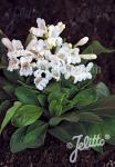 PENSTEMON barbatus f. nanus Pinacolada-Series 'Pinacolada White… Portion(s)