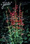 PENSTEMON eatonii   Portion(en)