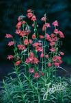 PENSTEMON x mexicale  'Sunburst Ruby'