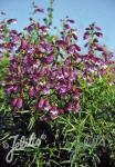 PENSTEMON x mexicale  'Sunburst Amethyst'