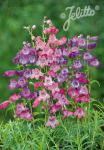 PENSTEMON x mexicale  'Sunburst Colours' Portion(s)