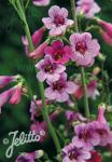 PENSTEMON parryi   Portion(s)
