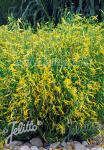 PENSTEMON pinifolius  'Mersea Yellow' Portion(s)