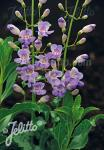 PENSTEMON spectabilis   Portion(en)