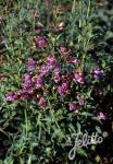 PENSTEMON richardsonii   Portion(s)