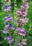 PENSTEMON virgatus   Portion(s)