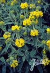 PHLOMIS fruticosa   Portion(s)