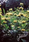 PHLOMIS russeliana   Portion(en)