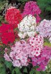 PHLOX paniculata  'New Hybrids' Portion(s)