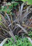 PHORMIUM cookianum  'Purpureum' Portion(s)