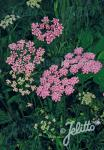 PIMPINELLA major  'Rosea' Portion(en)